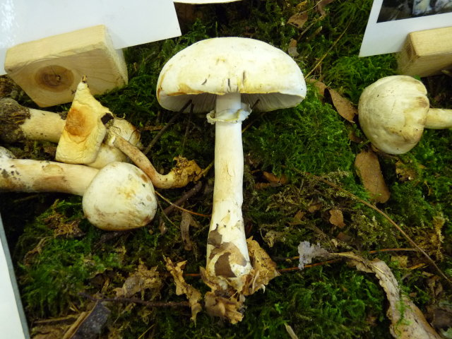 Agaric des bois - Agaricus silvicola (2)