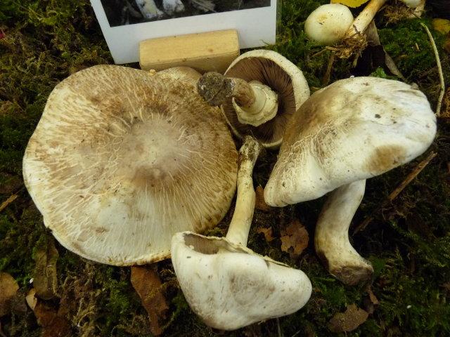 Agaric jaunissant - Agaricus xanthoderma (2)