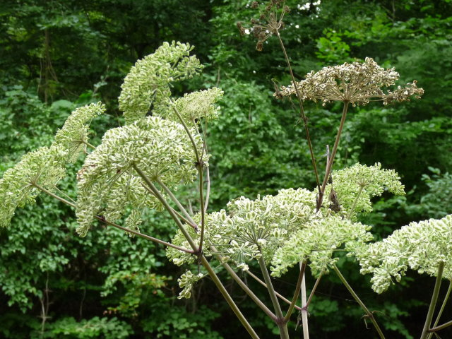Angélique officinale -  Angelica archangelica (2)