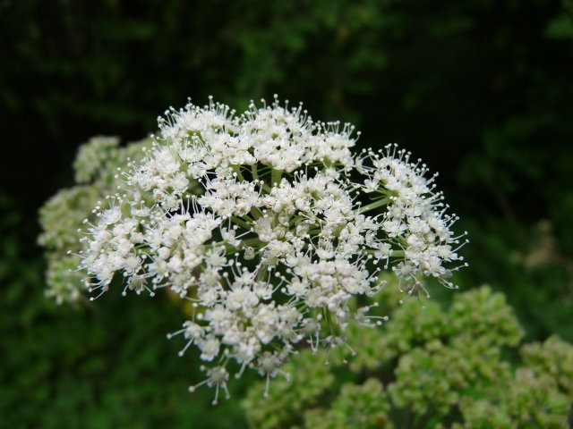 Angélique officinale -  Angelica archangelica (3)
