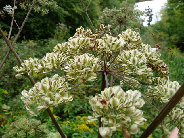 Angélique officinale -  Angelica archangelica
