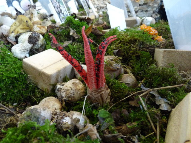 Anthurus d'Archer  - Clathrus archeri (3)