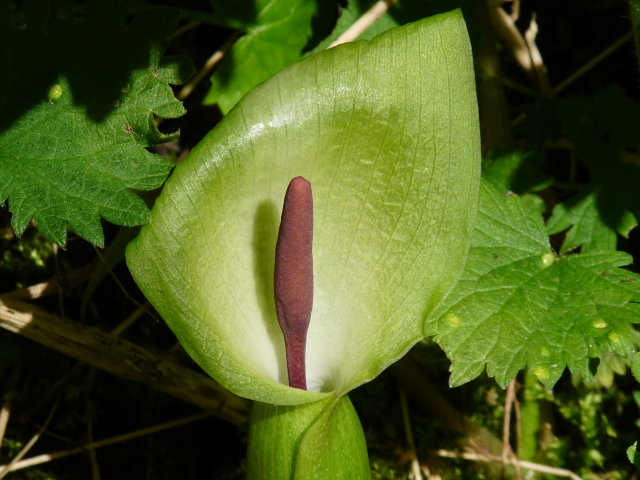 Arum sauvage - Arum italicum