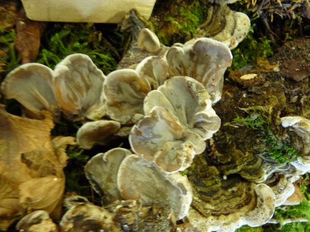 Auriculaire-mésentérique--Auricularia-mesenterica