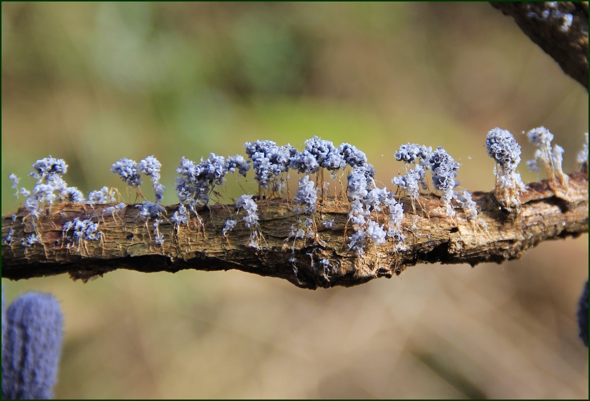 Badhamia utricularis