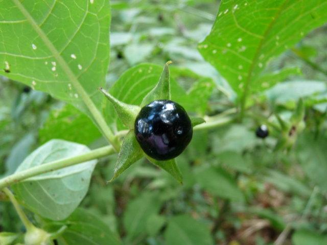 Belladone - Atropa belladonna (2)