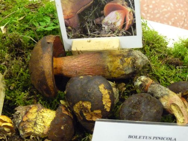 Bolet à pied rouge - Boletus erythropus (4)