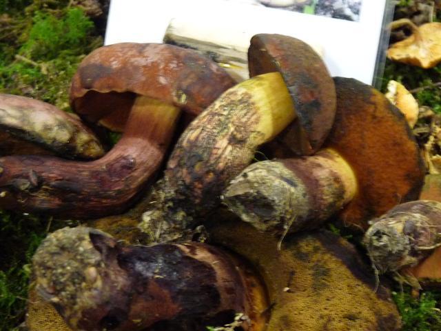Bolet de Quélet - Boletus queletii
