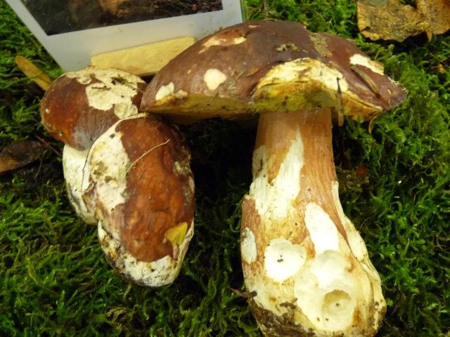 Bolet-des-pins--Boletus--pinicola