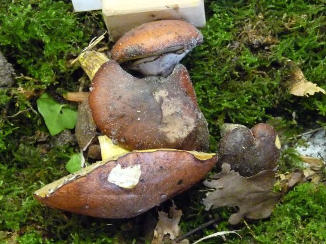 Bolet jaune ou Nonnette-voilée - Suillus luteus