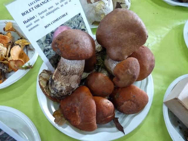 Bolet orangé des chênes - Leccinum quercinum