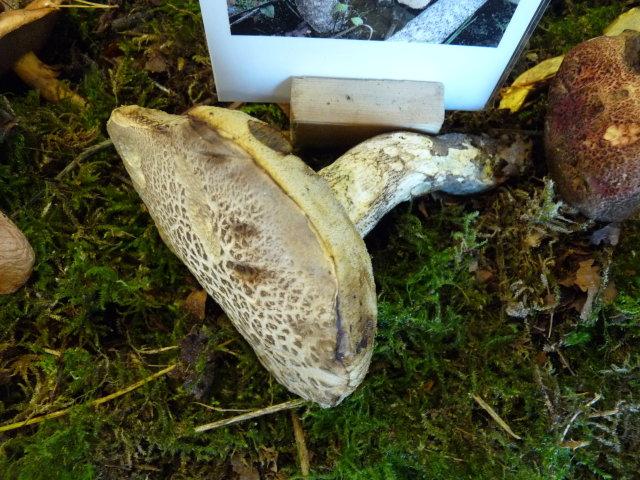 Bolet ramoneur - Leccinum variicolor