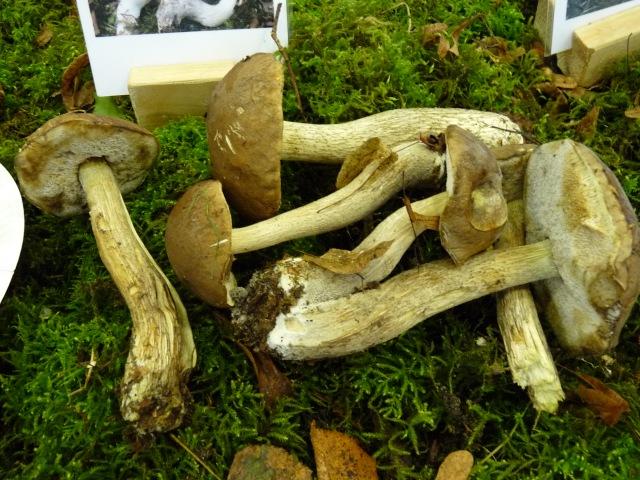 Bolet-rude-gris-brun--Leccinum-brunneogriseolum