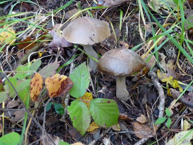 Bolet rude - Leccinum scabrum