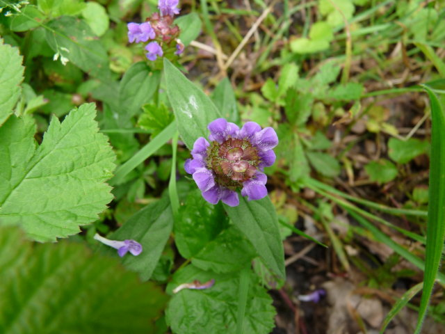 Brunelle commune - Prunella vulgaris (2)