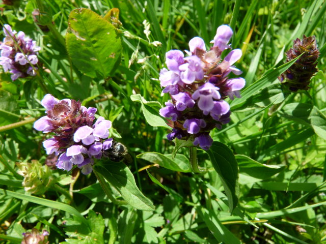 Brunelle commune - Prunella vulgaris
