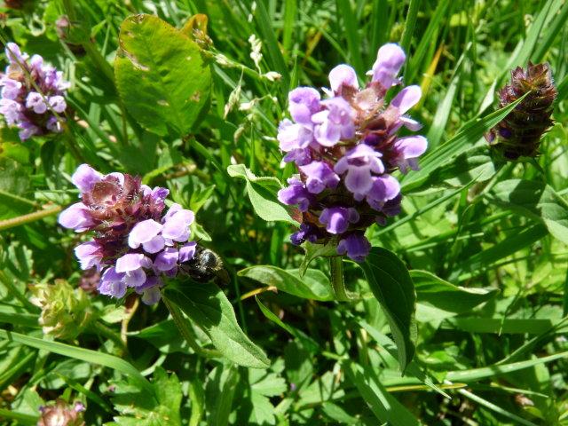 Brunelle commune - Prunella vulgaris