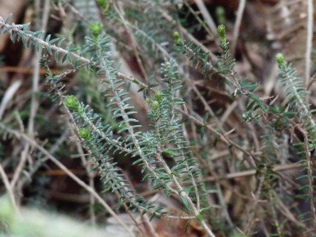 Bruyère à quatre angles - Erica tetralix (3)