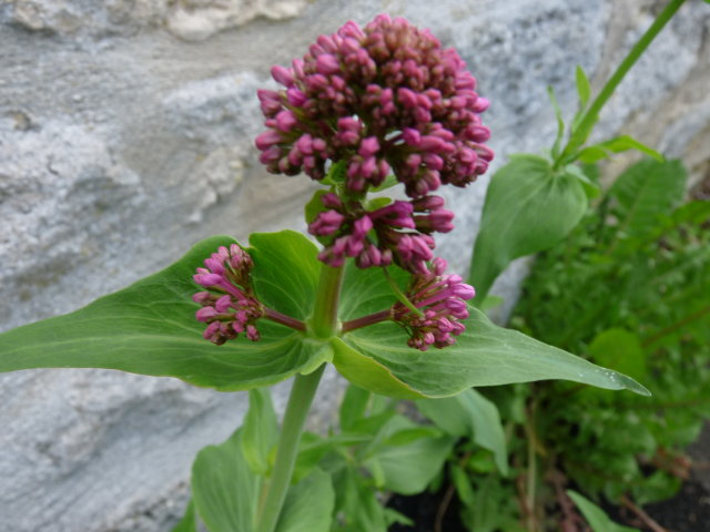 Centranthe rouge - Centranthus ruber