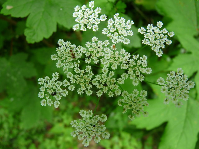 Cerfeuil des fous - Chaerophyllum temulentum