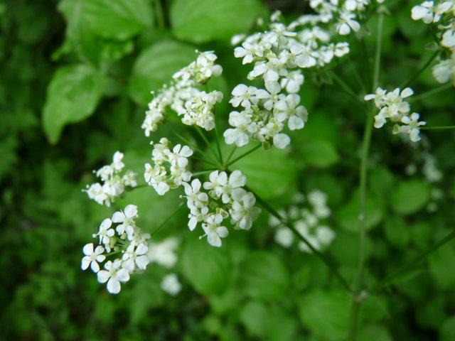 Cerfeuil des fous -  Chaerophyllum temulentum (2)