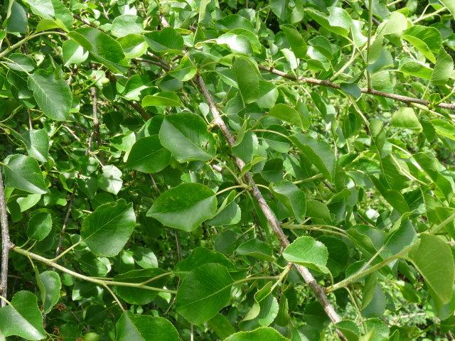 Cerisier de Sainte-Lucie - Prunus mahaleb