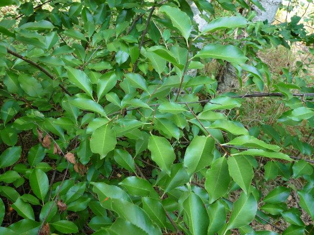 Cerisier tardif - Prunus serofina