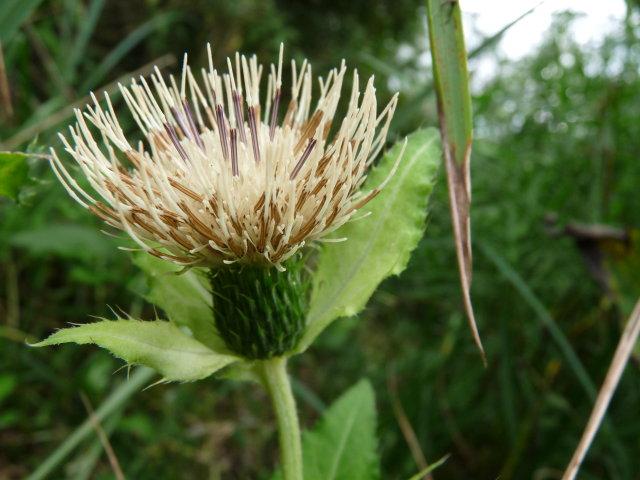 Cirse maraîcher - Cirsium oleraceum