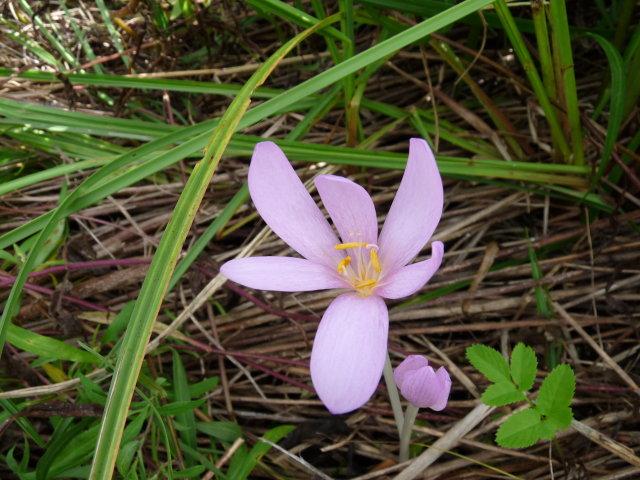 Colchique d'automne - Colchicum autumnale (2)