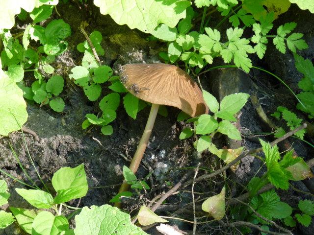 Collybie radicante - Oudemansiella radicata