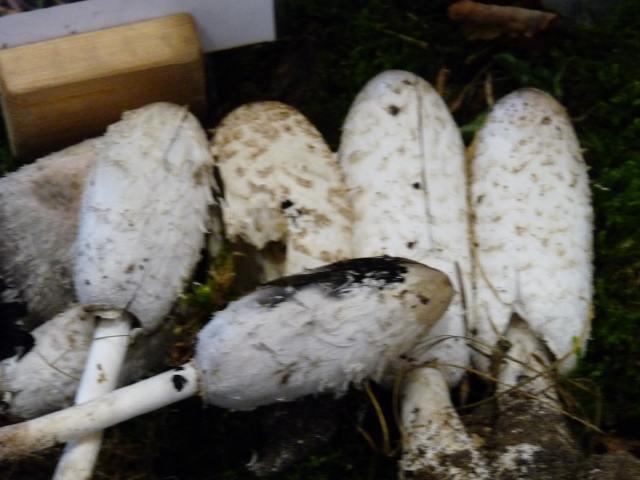 Coprin chevelu - Coprinus comatus (2)