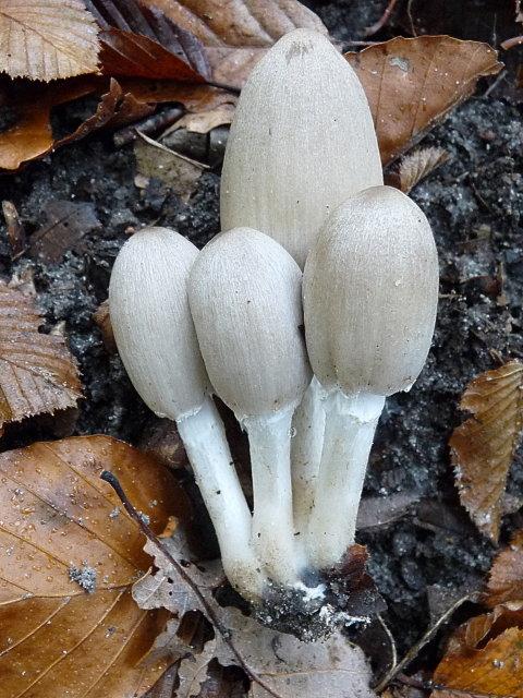 Coprin de Romagnési - Coprinopsis romagnesiana