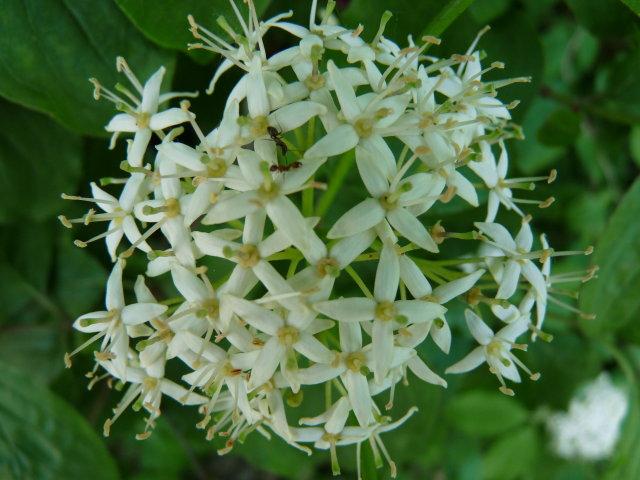 Cornouiller sanguin  - Cornus sanguinea