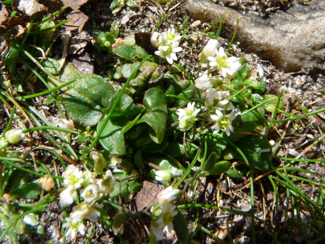 Drave printanière - Erophila verna