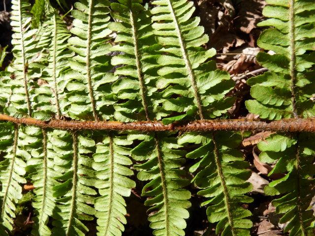 Dryopteris écailleux - Dryopteris affinis (2)