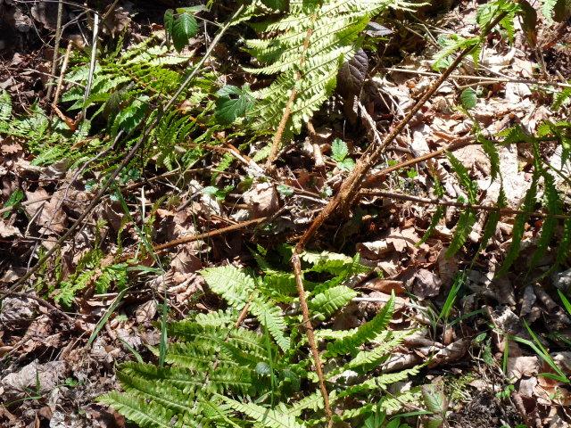 Dryopteris écailleux - Dryopteris affinis
