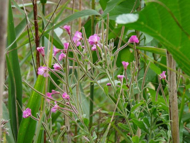 Épilobe à grandes fleurs - Epilobium hirsutum