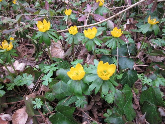 Eranthe d'hiver - Eranthus hyemalis