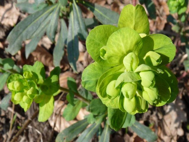 Euphorbe à feuilles d'Amandier - Euphorbia amygdaloides