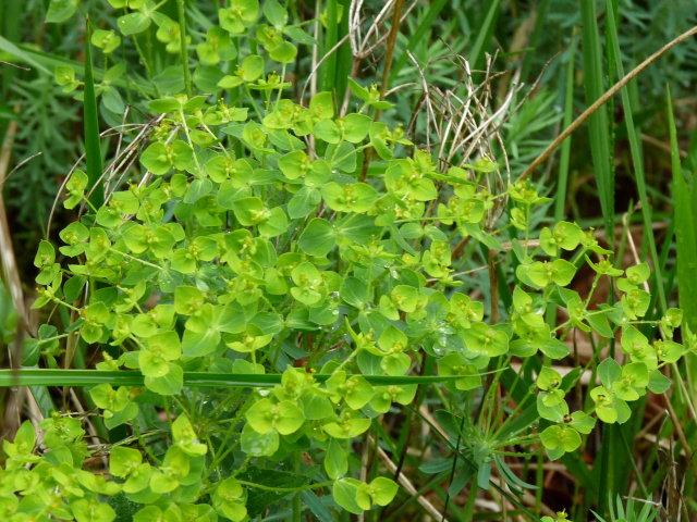 Euphorbe de Séguier - Euphorbia seguieriana