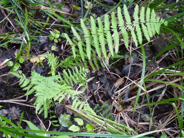 Fougère des marais - Thelypteris palustris