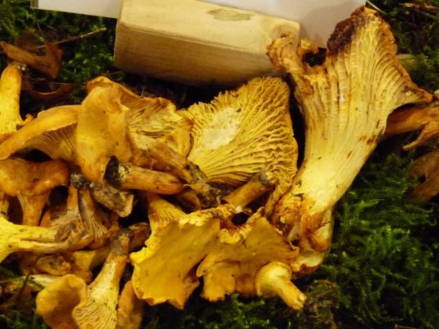 Girolle - Cantharellus cibarius (5)
