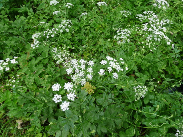 Grand boucage -  Pimpinella major