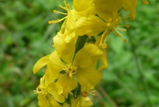 Aigremoine eupatoire (fleurs) - Agrimonia eupatoria