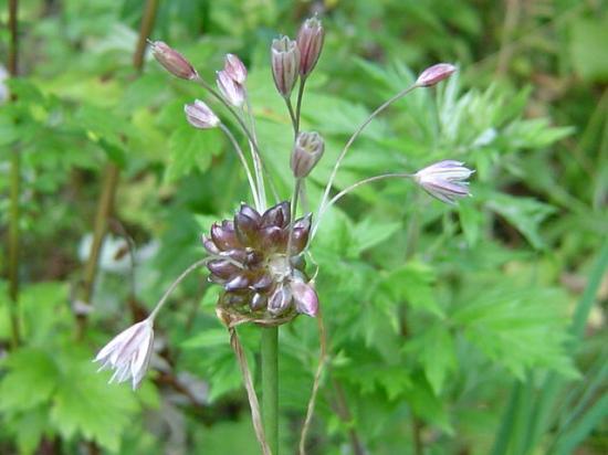 Ail des champs - Allium oleraceum
