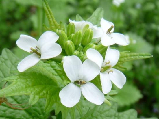 Alliaire officinale - Alliaria petiolata