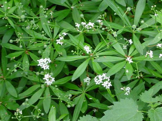 Aspérule odorante - Galium odoratum