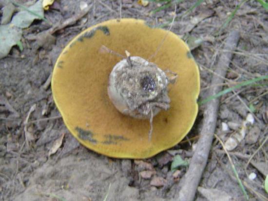 Bolet blafard - Boletus luridus
