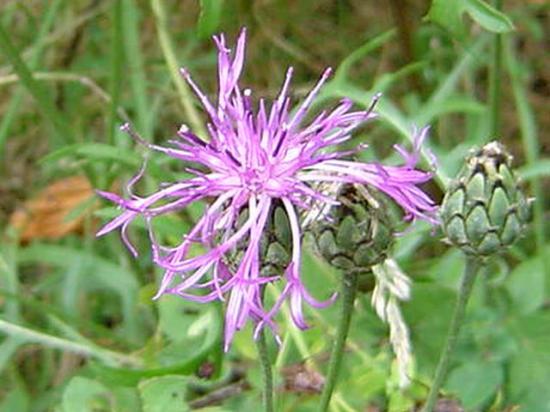 Centaurée scabieuse - Centaurea scabiosa