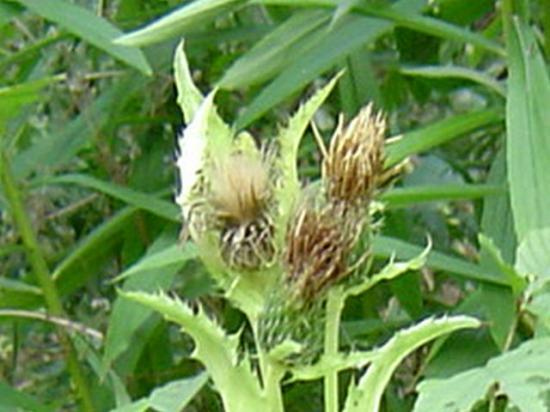 Cirse maraicher - Cirsium oleraceum